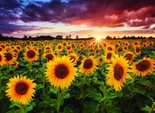 anatolian-1000-field-of-sunflowers-2